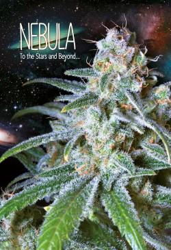 Nebula-Paradise-Seeds
