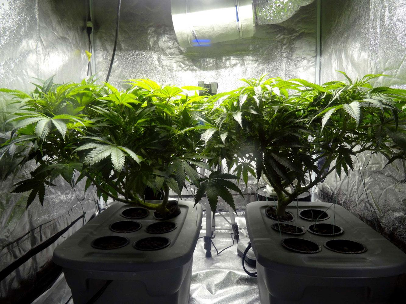 Cannabis regulaer samen