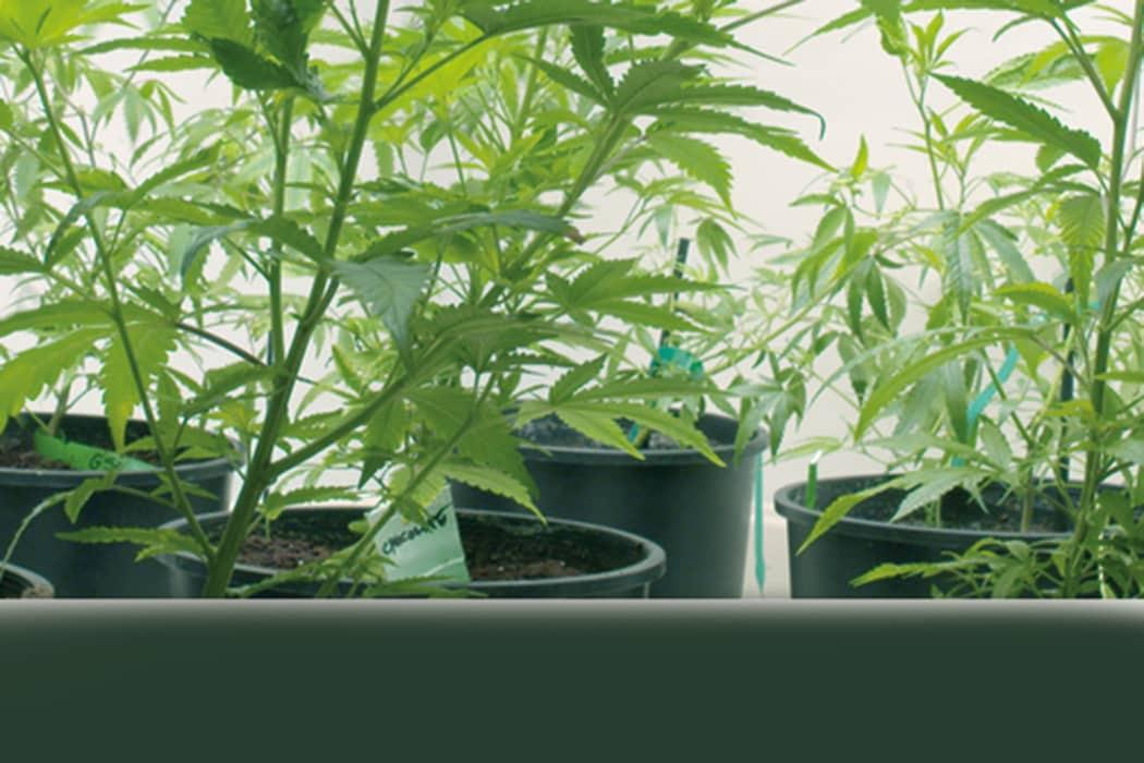 indoor-cannabis